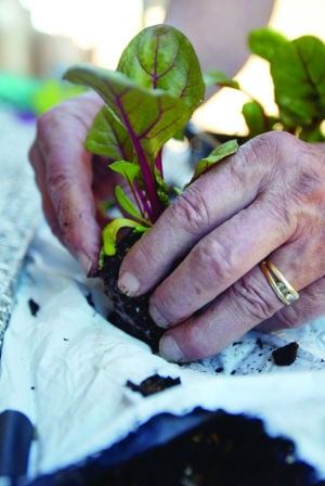 Local Gardening: John Keller plants one of the plants he saved from being thrown away at a local nursery. - Randy Metcalf/The Explorer