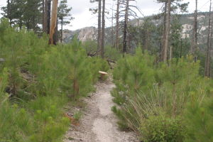 Mt. Lemmon: Outside Summerhaven, three to five foot tall pine trees line the trail on the west side of Marshall Peak, verification that a forest is on the mend 10 years after a devastating fire. - Rick Metcalf/Special to the Expl