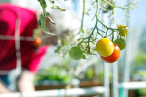 Local Gardening: During the peak times of the year, John Keller has grown tomato plants more than 10 feet tall. - Randy Metcalf/The Explorer