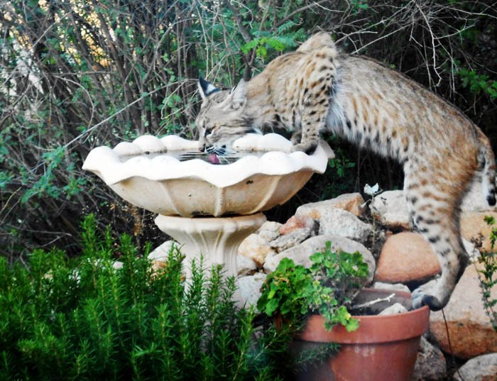 Bobcat taking a drink