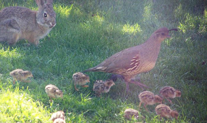 Quails and rabbits