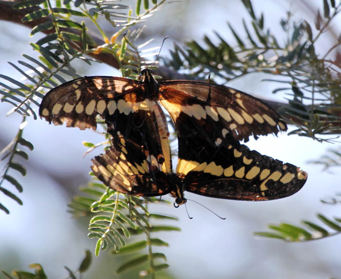 Giant swallowtails