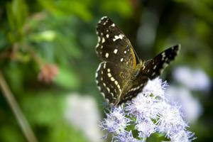 Butterfly on eupatorium