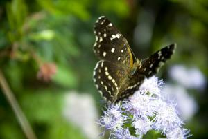 Butterfly on eupatorium