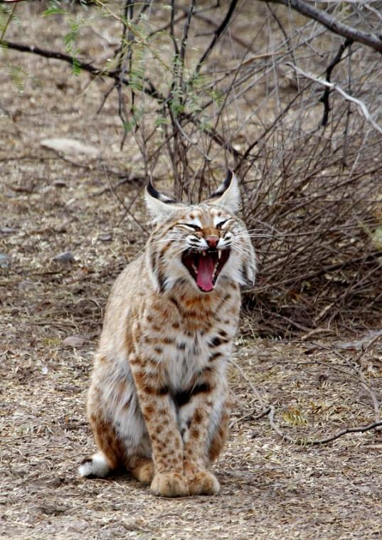 Yawning bobcat