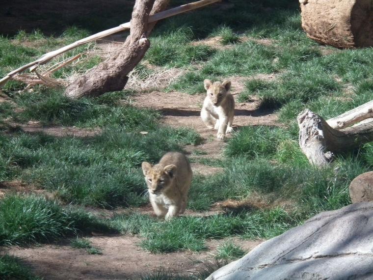 Reid Park Zoo lions