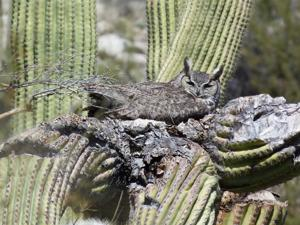 Owls nesting in saguaro