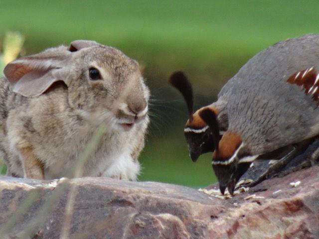 Rabbit and quail