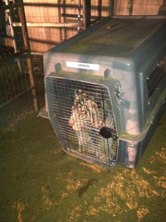Ariz. Game and Fish seize 2 tigers from backyards