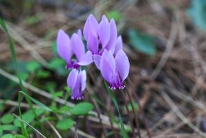 Pink purple cyclamen wild flowers.