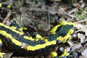 European Fire Salamander