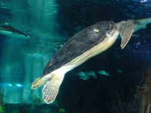 Sea Life Aquarium: Besides jellyfish, Sea Life also has 30 exhibits of other creatures such as this sea turtle.  - Thelma Grimes/The Explorer