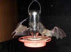 Want to feed bats?