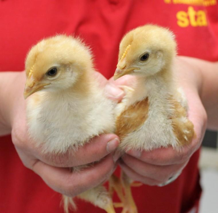 Easter chicks need a home