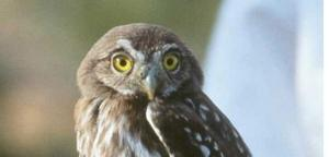 No extension granted for pygmy-owl review