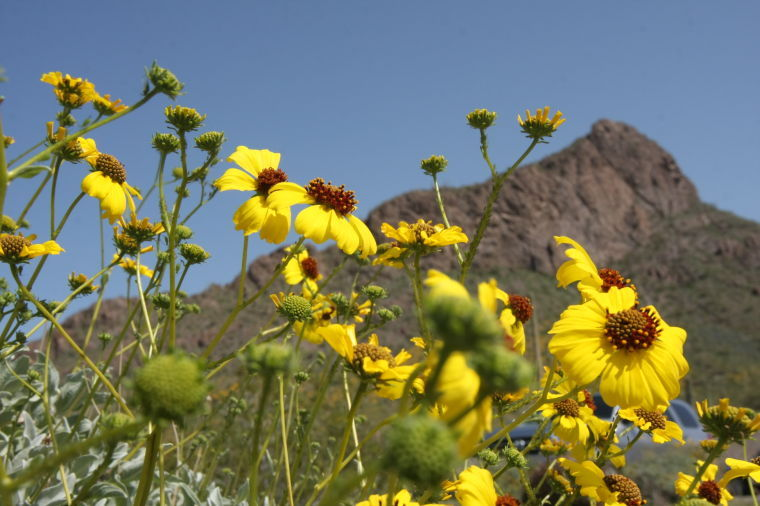 Flowers at Picacho Peak State Park