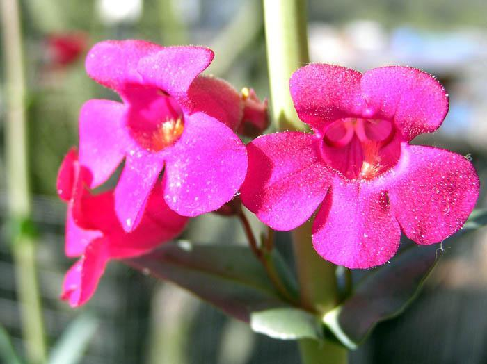 'Red-headed beauty' new hybrid from Tohono Chul
