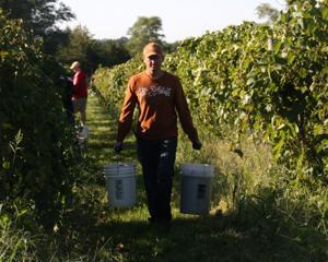 Grape harvest winding down