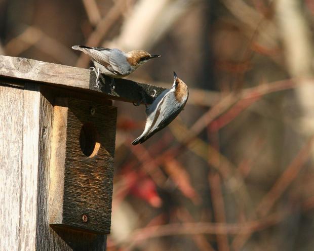 Great Backyard Bird Count returns Feb. 12-15