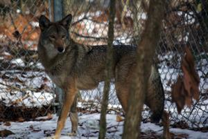 Red Wolf Recall?