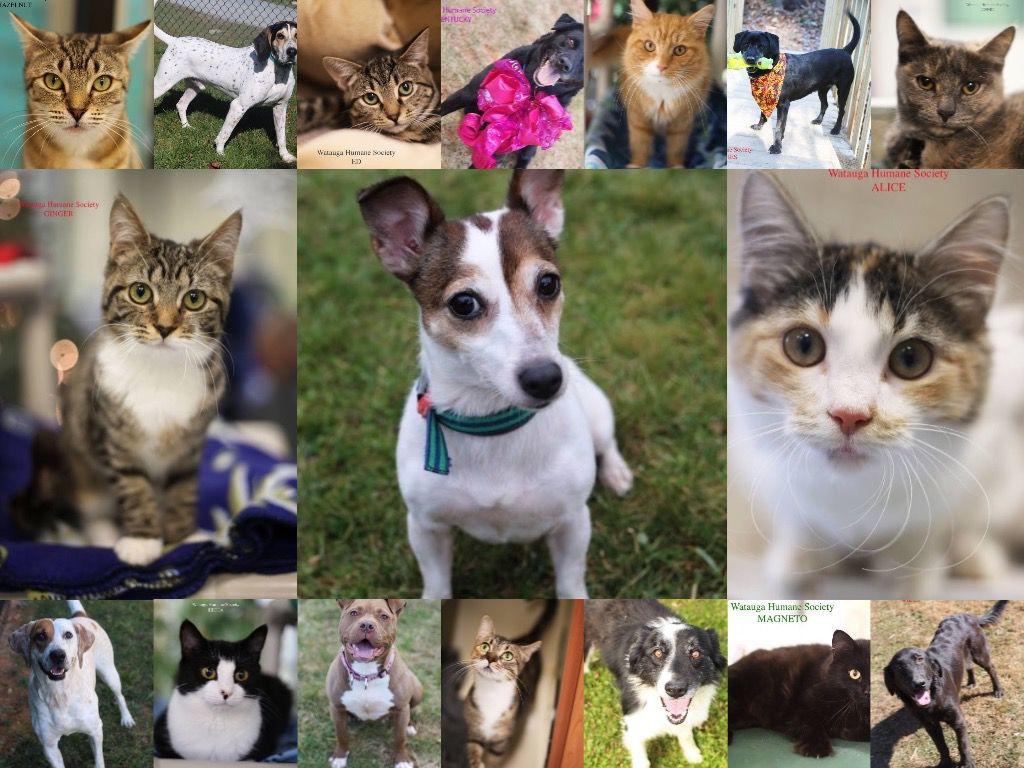 Watauga Humane Society Cats