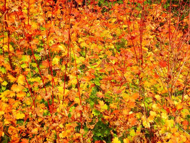Dear Naturalist: Why do leaves change color?