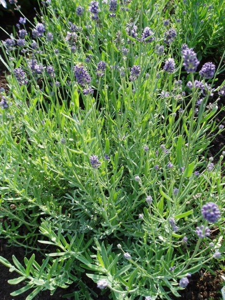 Virtuous herbs 10 common herbs to plant in your garden for Garden trees shrubs