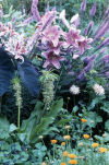 Bloomin' beautiful lilies -- Orientals, tigers and more -- bring fragrance into garden