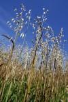 072110bp-oats-cutting2