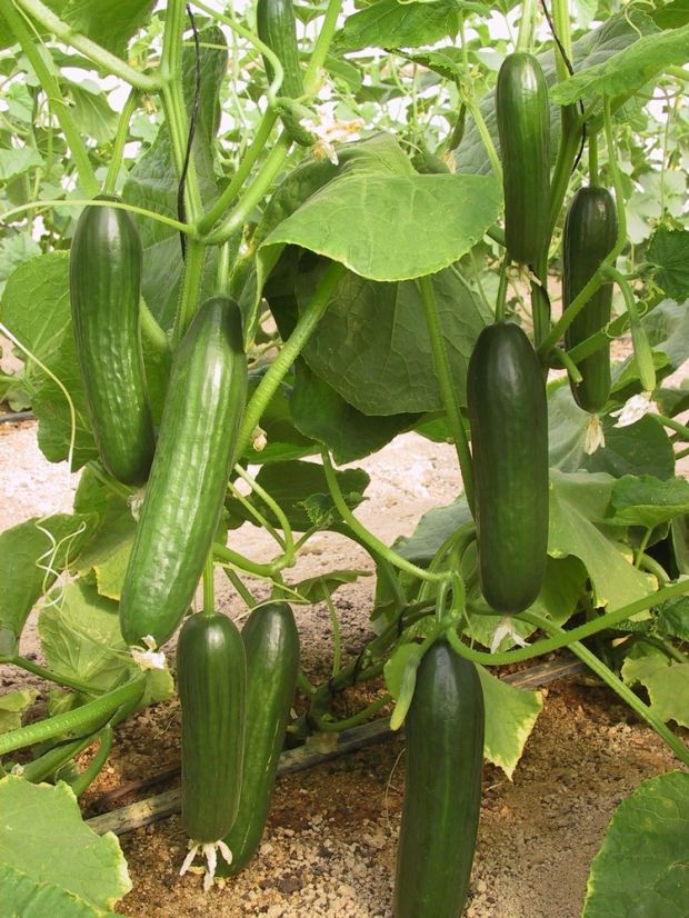 Cool As A Cucumber New Varieties Are Fruit Of The Vine Cedar Valley Home Amp Garden
