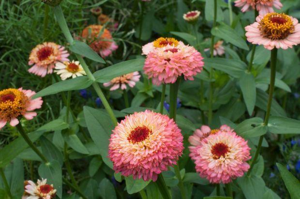 Striking new zinnia varieties put zest and zing in summer gardenZinnia Varieties