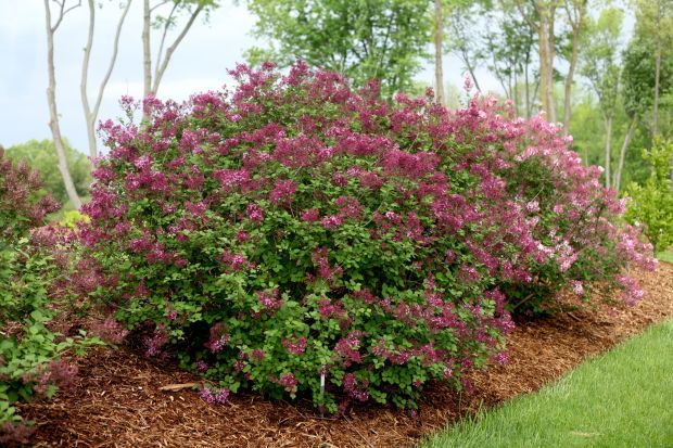 Lovely lilacs old fashioned bushes work well in newfangled gardens