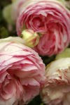 Romantic old garden roses prove too seductive to resist