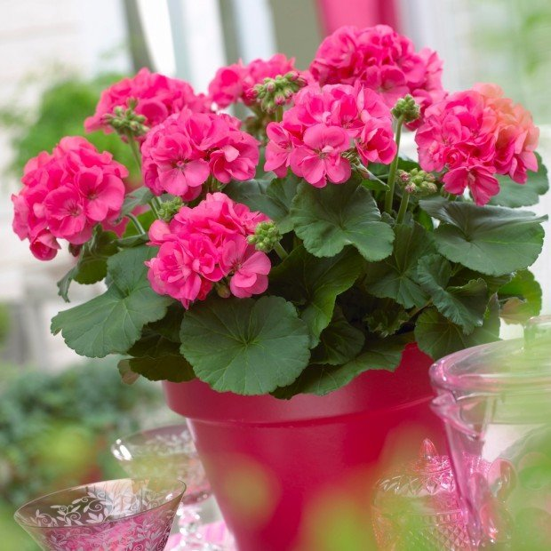 By any other name: Colorful, long-lasting geraniums are no-fuss ...