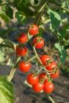Tomato Jasper