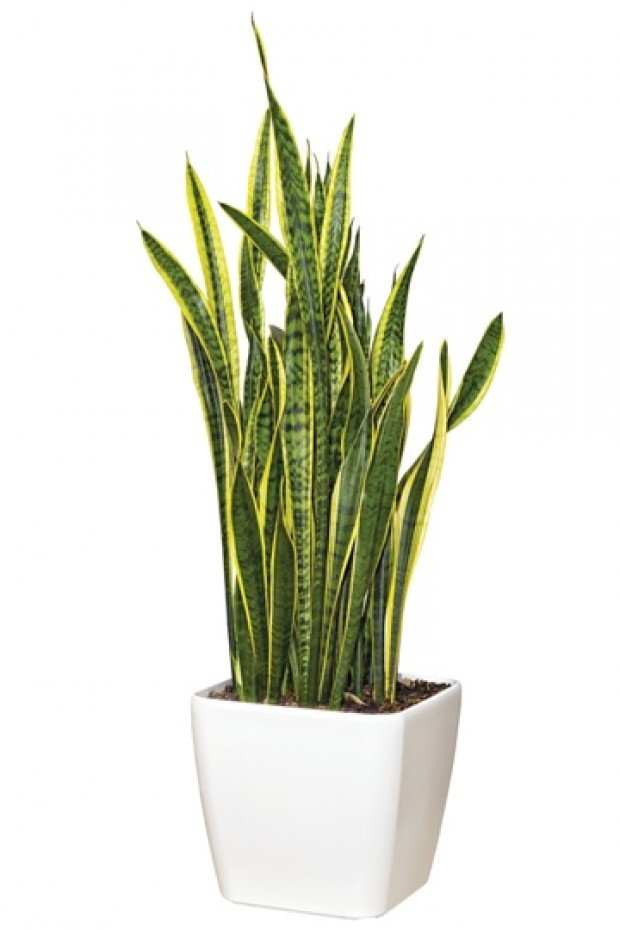 mother in law 39 s tongue snake plant sansevieria species my garden