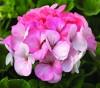 Geranium Pinto Premium White to Rose