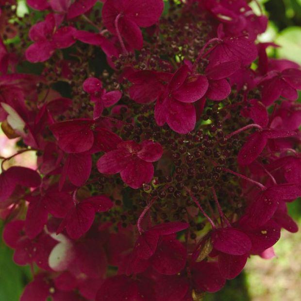 hydrangea heaven intense interest in these flowering. Black Bedroom Furniture Sets. Home Design Ideas