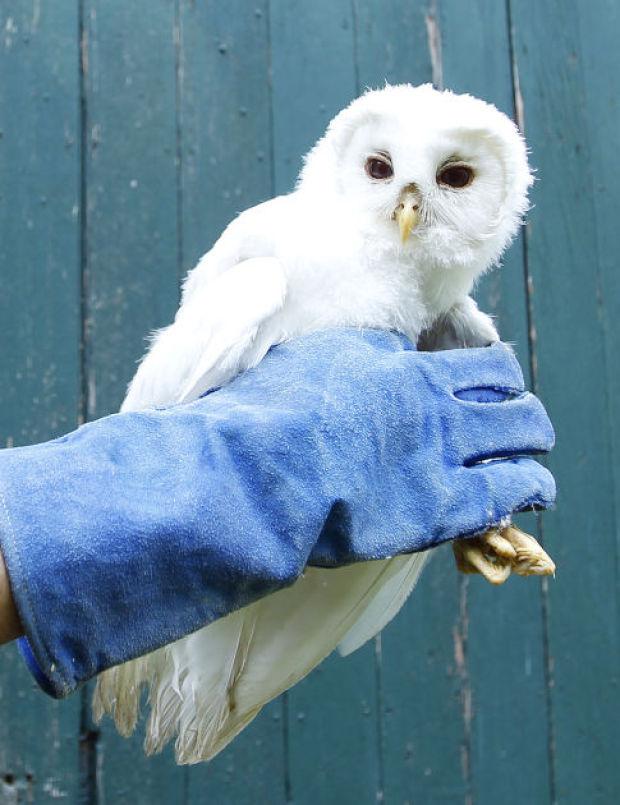 071714cc-owl-01