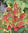 Charming, old-fashioned Nicotiana offers fragrance, prolific blooming