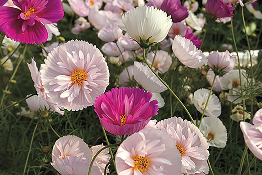 Cosmos, the flower, not cocktail, is a cure-all for cabin fever ...