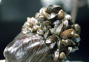 Task force outlines it's strategy to fight zebra mussels in Kandiyohi County