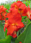 Canna South Pacific Scarlet F1