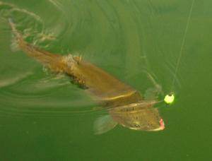 """<p>This photo shows a fish as Willis""""plays"""" it. The flourocarbon line in the air is quite visible but disappears in the water, providing a slight advantage. Flourocarbon is more dense than monofilament and so it wants to sink, dragging the surface fly under the water (not a good thing).</p>"""