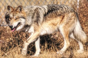 Team's daily job is to manage wolves back from the brink of extinction