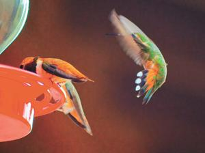 Hummingbird festival set for July 27 at Sipe Wildlife area