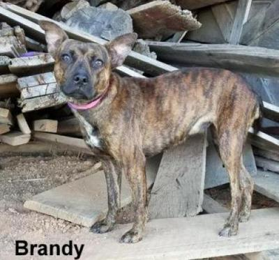 Brandy pet of the week