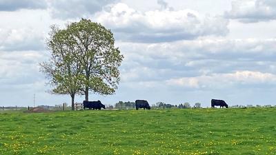 Cattle graze cover crop