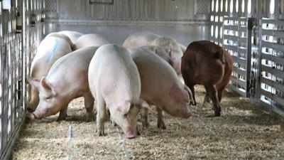 Mature hogs