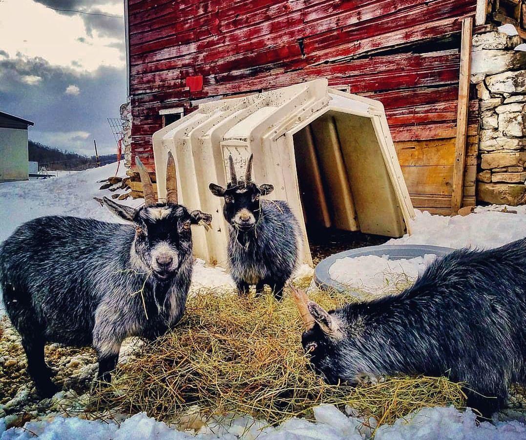 Goats in pen